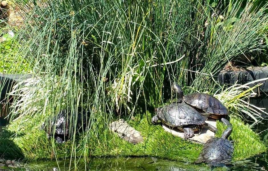 Turtles enjoying Floating Island habitat.