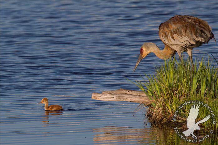 Young sandhill crane colt photo by Alan Sankevitz