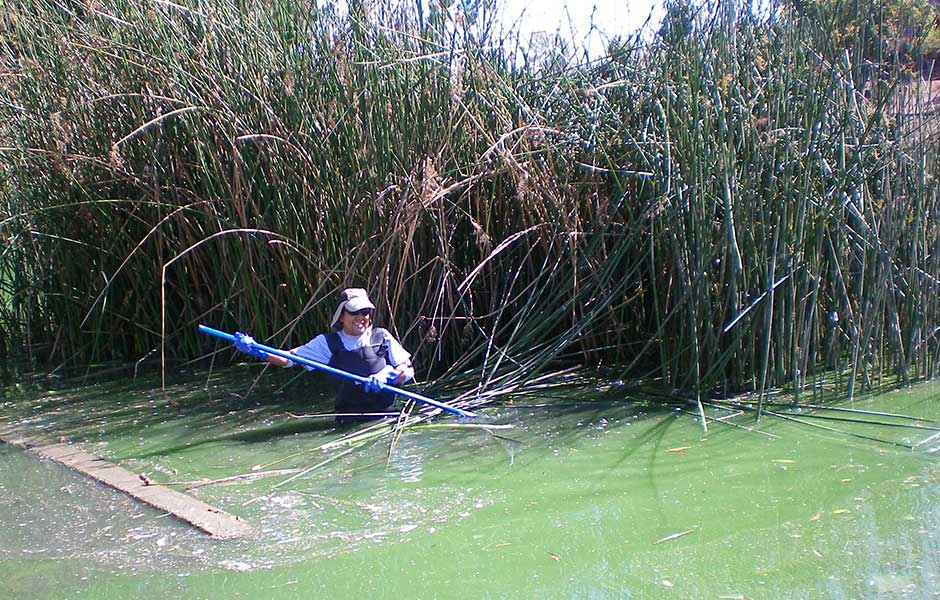 AquaBio's Carlos Lopez works to remove reed overgrowth at Laguna Lake, Fullerton, CA.