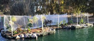 AquaBio replants and launches floating treatment wetland at Reseda Lake