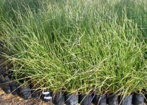 Image of vetiver grass chrysopogon zizanioides 'sunshine'