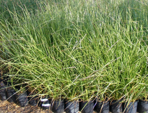 It's Vetiver Grass Season – Reserve Yours While Supplies Last!